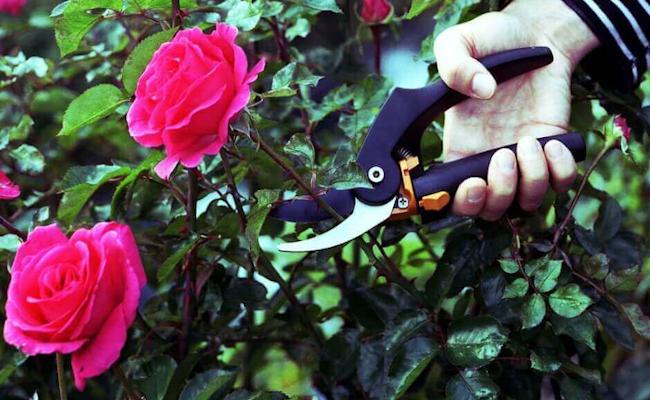 Rosen richtig schneiden