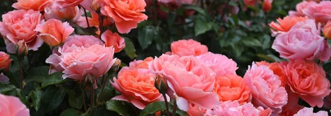 Rosenbeet rosa
