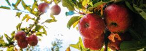 Obstbaum mit Äpfeln