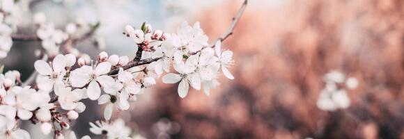 Gartenkalender Kirschblüte