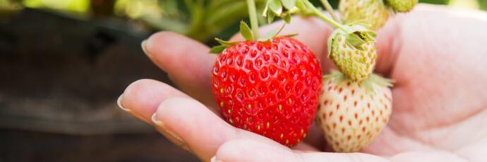 Erdbeeren dank der Gartenarbeit im März