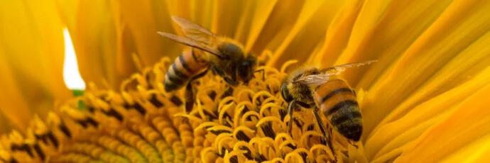 Bienen und Sonnenblumen