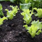 Gemüse anbauen für Anfänger