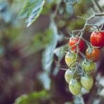 Düngen von Tomaten