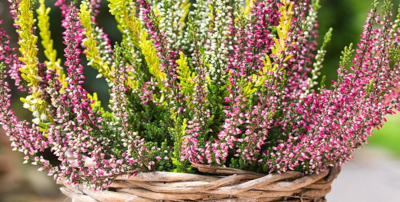 Heidekraut als Herbstpflanze